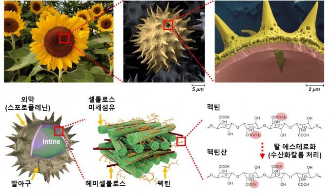 해바라기 꽃의 경우, 꽃가루는 뾰족한 가시가 난 겉 모습을 하고 있다(위 세 사진). 이 부분을 외막이라고 하는데, 셀룰로오스와 헤미셀룰로스라고 하는 섬유질로 단단하게 구성돼 있다. 그 사이에 펙틴이 들어 있는데, 조남준 난양공대 교수팀은 여기에 염기성 용액을 가해 펙틴을 펙틴산으로 바꿔 부드럽게 바꾸는 기술을 개발했다. 꽃가루를 재료로 활용하는 데 도움이 될 것으로 기대된다. 난양공대 제공