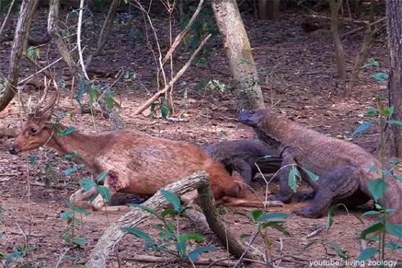사슴을 잡아 먹는 왕도마뱀 '화제'