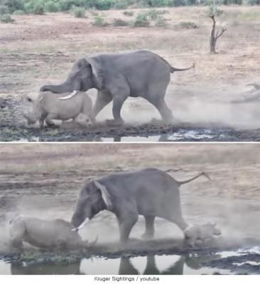 코뿔소를 습격한 코끼리