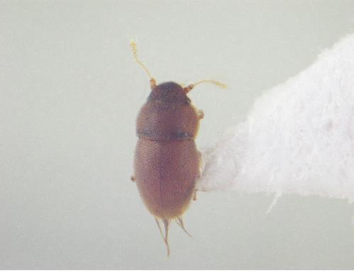 국내서 가장 작은 딱정벌레 발견…'신용카드 두께' 0.8㎜ 크기