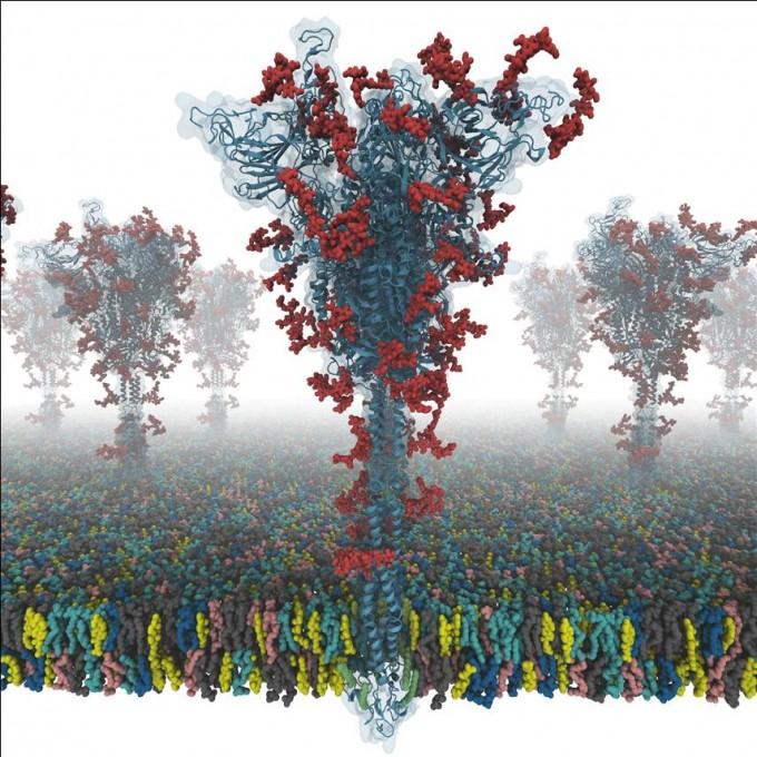 석차옥 서울대 화학부 교수와 임원필 미국 리하이대 교수팀은 코로나19 바이러스가 인체세포에 침투할 때 중요한 역할을 하는 스파이크 단백질의 정교한 구조를 당 분자(빨간색)까지 포함해 밝히는 데 성공했다. 스파이크 단백질의 구조를 밝히고 이 구조가 어떻게 인체세포 표면 단백질과 상호작용하는지 추후에 밝히는 일도 매우 어려운 연구 과제다. 이것을 사전에 알아서 결합력이 높도록 구조를 설계한다는 것은 매우 어려운 일이라는 게 전문가들의 비판이다. 서울대 제공