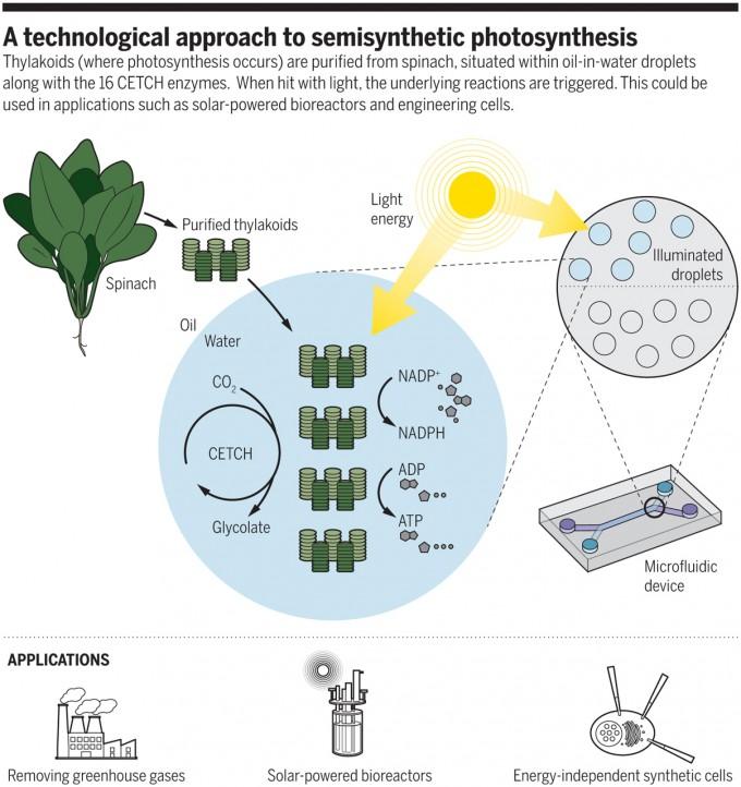 독일 막스플랑크육상미생물학연구소 생화학・합성대사과 토비아스 에브 교수팀은 프랑스 보르도대 연구팀과 함께 최근 인공 엽록체 시스템을 만드는 데 성공했다. 이들은 리포솜이라는 세포 크기의 물방울 안에 시금치의 엽록체에서 추출한 내막(thylakoid)과 16가지 효소로 이뤄진 CETCH 회로(최신 버전)를 넣어 빛을 쪼이면 이산화탄소를 환원시켜 유기분자인 글리코레이트를 만드는 시스템을 구현했다. 인공 엽록체는 온실기체 제거 등 여러 분야에 쓰일 수 있다.  '사이언스' 제공