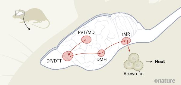 최근 일본 나고야대 연구자들은 쥐를 대상으로 스트레스로 인한 심인성 발열의 배후에 있는 뇌 회로를 밝히는 데 성공했다. PVT/MD 같은 스트레스 센서가 전두엽의 DP/DTT로 스트레스 정보를 보내면 시상하부의 DHH를 거쳐 뇌간의 rMR로 전달돼 몸에 있는 갈색지방을 태워 열을 낸다. ′네이처′ 제공