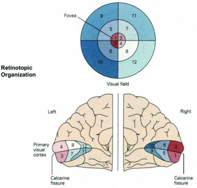 시각피질에는 망막표면을 반영하는 2차원적 '망막지도(retinotopy)'가 존재한다. 그림은 뇌의 좌우반구를 뒤쪽에서 펼친 상태로, 후두엽 시각피질의 망막지도가 대상의 좌우상하가 뒤바뀐 배치임을 알 수 있다. '계산신경과학의 경계' 제공