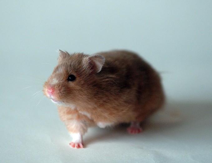 골든햄스터는 코로나19 동물 모델로 활용된다. 위키미디어 코먼스 제공