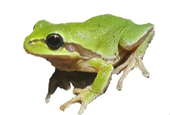 칠갑산 이남 충남 논산 및 전북 익산, 군산 등에서 수원청개구리의 친척이 발견됐다. 배가 노란 빛을 띠고 울음소리가 더 길다. 연구팀은 ′노랑배청개구리′라고 이름 붙였다. 플로스원 논문 캡쳐