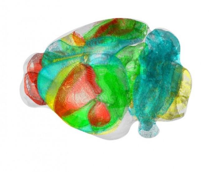 쥐의 표준화된 3차원 뇌 지도다. 백세범 KAIST 교수팀은 평면 절편 뇌 영상을 바탕으로 신경세포의 위치를 이런 영상 속에서 찾는 기술을 개발했다. KAIST 제공