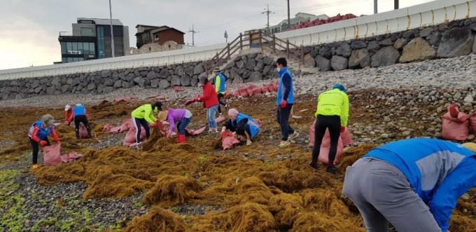 제주도에서 자원봉사자들이 해안가로 떠밀려온 괭생이모자반 수거에 나서고 있다. 해안가에 밀려올 경우 기계로 청소가 불가능해 사람의 손으로만 이를 치울 수 있다. 제주도 제공