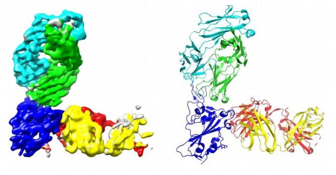 미국 생명공학사 리제네론 사가 발굴한 항체치료제 후보물질 가운데 두 개인 REGN10933(연한 녹색과 하늘색)과 REGN10987(노란색과 빨간색)가 사스코로나바이러스-2의 스파이크 단백질의 결합부위(RBD, 진한 파란색 부위)와 결합한 모습을 그림으로 묘사했다. 연구팀은 서로 같은 부위에 결합하지 않고 경합하지 않는 두 종의 항체치료제를 칵테일로 사용하면 항체를 피하는 바이러스의 변이를 피할 수 있어 효과가 더 좋다고 사이언스 15일자에 발표했다. 좌우 그림은 표현만 다를 뿐 같은 단백질 구조를 나타내고 있다. 사이언스 논문 캡쳐