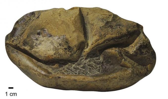 남극 시모어 섬에서 발견된 지름 30cm 크기의 모사사우르스 알 화석이다. 모사사우르스는 알을 낳는 과정에서 바로 새끼로 부화하는지 아니면 알이 나온 후 새끼로 태어나는지 의견이 분분하다. 클라크 교수팀 제공
