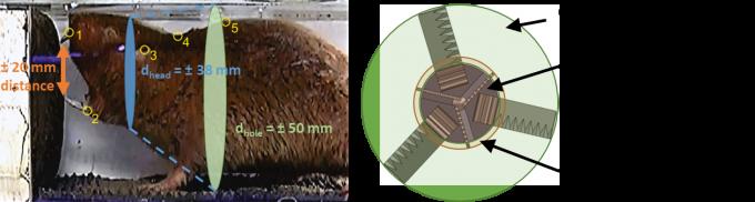 두더지종 중 하나인 치젤투스(왼쪽)는 머리를 옮겨가며 굴을 넓게 파는 특성을 가졌다. 연구팀은 이를 모방한 드릴링부를 만들어 드릴보다 2.7배 넓은 굴을 파내려갈 수 있는 드릴링부를 설계했다. KAIST 제공