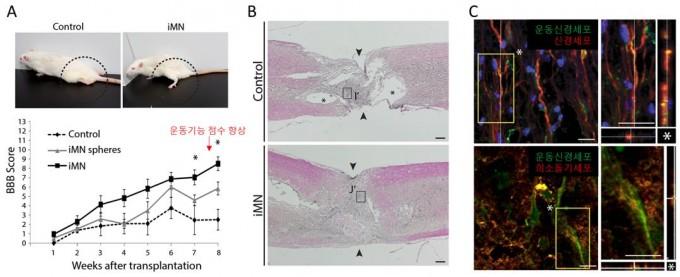 A. (위) 세포 이식 후 회복된 뒷다리 모습 (아래) 척수손상 후 뒷다리 기능이 상실된 대조군에 비해 운동신경 세포 이식 한 쥐에서는 뒷다리 운동기능이 향상됐다. B는 운동신경 세포 이식 후 회복된 척수조직의 모습이다. C는 이식된 세포가 주변 신경세포와 연결되어 신경재생을 돕는 모습을 나타냈다. UNIST 제공