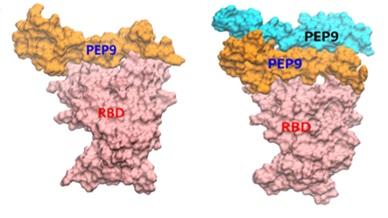 장익수 DGIST 슈퍼컴퓨팅빅데이터센터장팀이 코로나19를 치료할 수 있는 단백질을 슈퍼컴퓨터를 이용해 설계했다. 그 중 하나인 PEP9가 하나로 존재하는 단량체 혹은 두 개가 결합한 이량체가  코로나19 바이러스의 돌기 부분에 존재하는 RBD(빨간색)에 결합해 인간 세포 표면에 있는 ACE2에 결합하지 못하도록 중화 작용하는 모습을 묘사했다. DGIST 제공