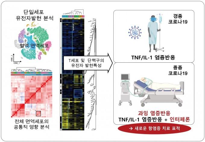 혈액 속 면역세포를 1개씩 분리한 뒤 ′단일 세포 유전자 발현 분석 기술′을 이용해 특징을 파악했다. 세포 내에 만들어진 극미량의 ′전사체를 증폭한 뒤 해독해 그 양을 측정해 관련 단백질을 찾는 방식이다. 그 결과 코로나19 환자에게는 종양괴사인자(TNF)와 인터류킨-1이 발견되고, 특히 중증 환자에게는 인터페론이 발견된다는 사실이 확인됐다. 연구팀은 중증 코로나19를 치료하기 위한 새로운 표적이 될 것으로 기대했다. KAIST 제공