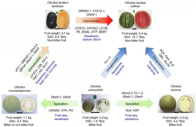 지난해 11월 학술지 '네이처 유전학'에 발표한 논문에 따르면 오늘날 우리가 즐겨 먹는 전형적인 수박(오른쪽 위 Citullus lanatus cultivar)은 오랜 작물화 과정을 거쳐 탄생했다. 자세한 내용은 본문 참조. 네이처 유전학 제공