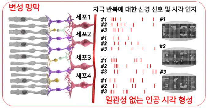 일관성 없는 신경 신호 과정을 보여주는 변성 망막. KIST 제공.