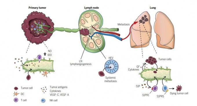 암이 림프관과 림프절을 통해 전이되는 과정을 설명한 그림이다. 암세포른 종양 부근의 림프관이 많으면 안으로 쉽게 들어가고 주변의 면역을 억제한다. 림프관 형성을 촉진하는 VEGF-C(그림 속 작은 점)이 많을수록 전이가 많고 예후도 나쁜 이유다. 반면 림프관을 통해 수지상세포(DC, 그림 속 노란색 별 모양)가 림프절로 이동해 면역 효과를 내는 기능도 한다. 림프관이 많으면 면역세포인 T세포(그림 속 보라색 원)도 잘 침투한다. 고 단장은 ″암에서 림프관은 억제와 촉진 기능을 둘 다 한다″고 말했다. 사이언스어드밴시스 논문 캡쳐