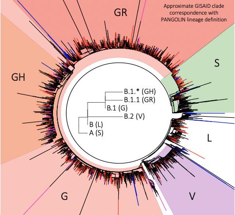 3일까지 GISAID에서 분류한 사스코로나바이러스-2의 계통 분류다. 스파이크 단백질 614번 아미노산 변이에 따라 V 유형에서 G 유형이 나온 뒤 G 유형이 급격히 늘어 GR, GH 등으로 세분화됐다. GISAID 홈페이지 캡쳐