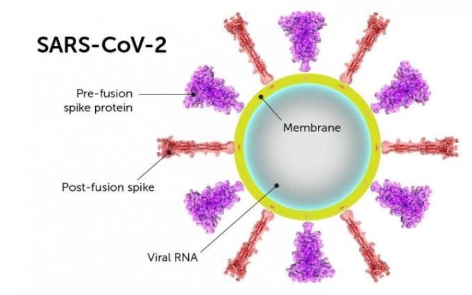 사스코로나바이러스-2(SARS-CoV2)가 세포에 침투할 때 활용하는 스파이크 단백질이 두 가지 형태를 갖고 있는 것으로 나타났다. 사이언스 제공