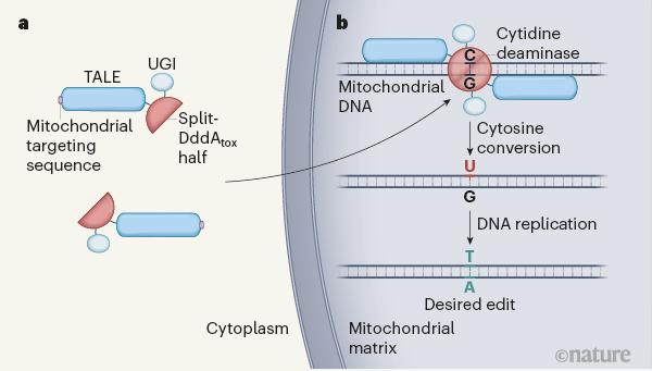 최근 미국 워싱턴대와 하버드대 공동연구자들은 부르콜데리아 박테리아에서 발견한, DNA이중나선의 C를 U로 바꾸는 효소(DddA)를 2세대 게놈편집 단백질(TALE)에 결합해 미토콘드리아 게놈의 특정 위치에서 C를 T로 바꾸는 데 성공했다. DdCBE로 불리는 이 시스템은 미토콘드리아 질병을 이해하고 치료제를 개발하는 데 큰 도움이 될 전망이다. 네이처 제공