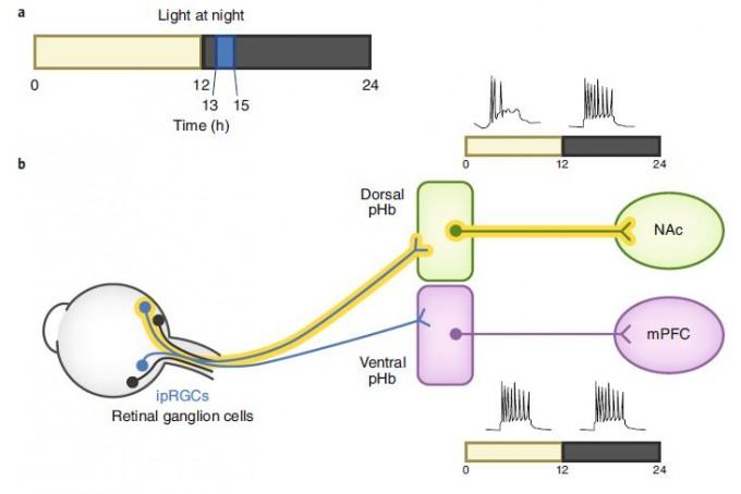 최근 중국의 연구자들은 낮과 밤이 각각 12시간인 하루 주기에서 밤의 앞부분에 두 시간 파란빛을 켜는 조건을 만들어 생체시계의 교란 없이도 생쥐에서 우울증에 해당하는 행동을 유발할 수 있음을 보였고 이 과정에 관여하는 신경회로도 규명했다. 즉 망막에서 파란빛을 감지한 감광신경절세포(ipRGC)의 일부가 뇌 시상의 등쪽(dorsal) pHb로 신호를 보내고 여기서 중격의지핵(NAc)으로 이어진다. 밤에 활동성이 큰 중격의지핵의 담당 뉴런은 부적절한 타이밍의 빛에 반응해 기분을 조절하는 것으로 보인다.  '네이처 신경과학' 제공
