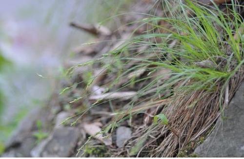 벼와 모양 비슷한 사초과 식물 2종 세계 최초 발견