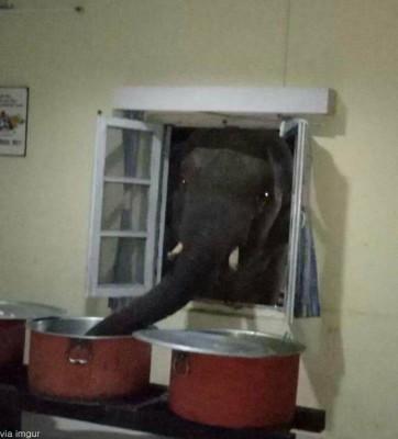 음식 훔치는 코끼리