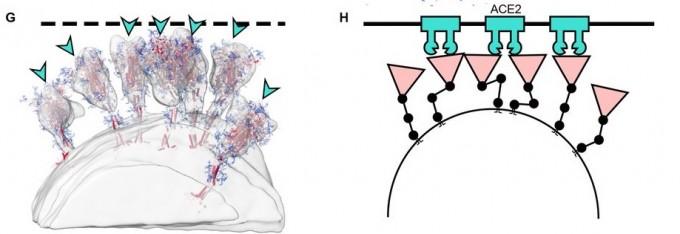유연한 스파이크 단백질 기둥 구조는 인체 세포의 ACE2 단백질과 결합할 때 유리하다. 거리를 자유자재로 조절할 수 있어 결합력을 높이고, 감염 가능성을 높일 것으로 추정된다. 사이언스 논문 캡쳐