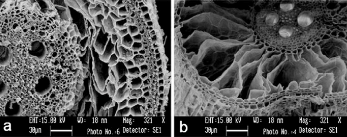 벼는 물에 잠겨 산소가 부족한 환경에 처해도 비교적 잘 적응하게 진화한 식물이다. 논에 물을 대 뿌리가 늘 물에 잠겨 있는 조건이 되면 통기조직이 발달해(오른쪽) 위의 줄기에서 산소가 원활히 공급된다. 식물 생리학분자생물학 제공
