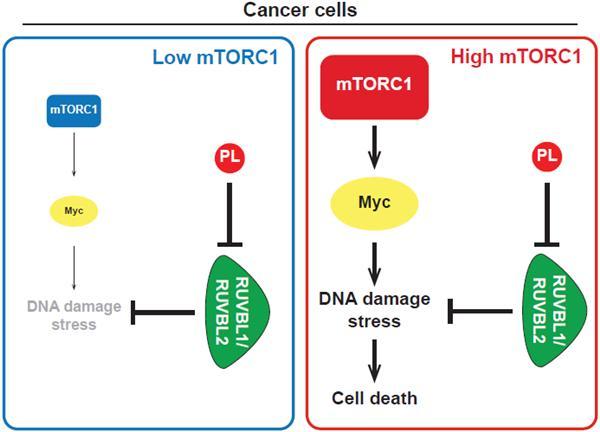 mTOR단백질복합체1(mTORC1)의 활성이 낮은 세포에서는 DNA 손상으로 인한 스트레스가 낮아서 RUVBL1/2-TTT에 대한 의존도가 낮다. 이 경우에는 RUVBL1/2-TTT를 억제하는 파이퍼롱구민(PL)이 있어도 세포의 생존에 미치는 영향이 적다(왼쪽). 하지만 mTORC1의 활성이 높은 암세포에서는 DNA 손상 스트레스가 높기 때문에 파이퍼롱구민이 RUVBL1/2-TTT를 억제하면 암세포가 DNA 손상 스트레스를 감당하지 못해 죽게 된다. 연세대 제공