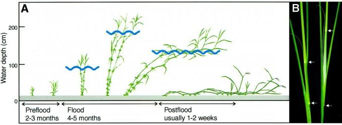심수 벼는 침수가 되면 위쪽 줄기가 하루에 25㎝나 자라 물 밖으로 머리를 내민다. 물이 빠지면 식물체가 쓰러지지만 말단은 중력 반대 방향으로 자라며 적응한다. 최근 일본의 연구자들은 심수 벼가 침수됐을 때 대응에 관여하는 유전자들을 규명하는 데 성공했다. 식물생리학 제공