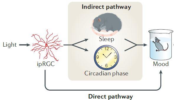지난 2002년 빛의 정보가 감광신경절세포(ipRGC)를 통해 시교차상핵으로 전달돼 일주리듬(circadian phase)과 수면(sleep)에 영향을 준다는 사실이 밝혀졌다. 부적절한 시간대의 빛은 생체시계를 교란해 수면장애를 일으키고 그 결과 기분(mood)이 우울해질 수 있다(간접 경로). 그런데 2012년 파란빛이 생체시계를 거치지 않고 기분에 영향을 줄 수도 있다는 사실이 밝혀졌다(직접 경로). ′네이처 리뷰 신경과학′ 제공