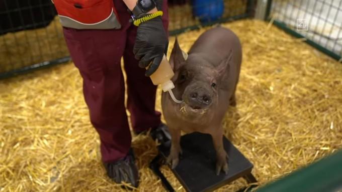 뉴럴링크의 칩 ′링크 0.9′를 뇌 속에 이식한 돼지 ′거트루드′가 이달 28일 뉴럴링크 미국 샌프란시스코 본사에서 열린 시연회에서 공개됐다. 거트루드는 물을 마시는 등 다른 돼지와 다를 바 없는 행동을 선보였다. 뉴럴링크 유튜브 캡처