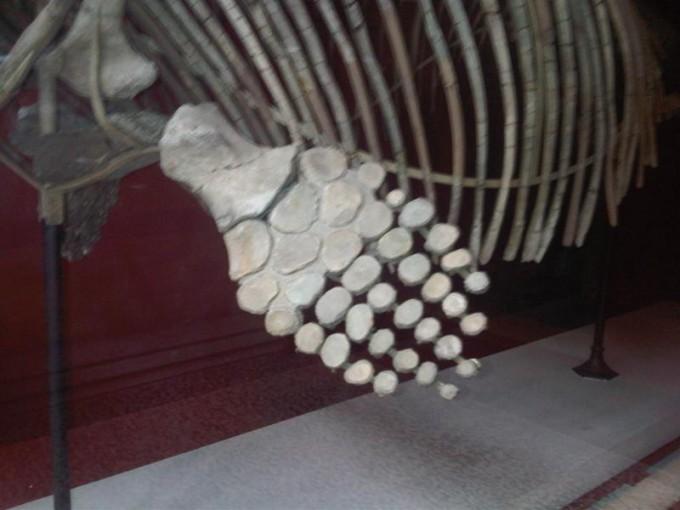 어룡의 일종인 오프탈모사우르스의 지느러미 뼈다. 손가락 마디가 확연한 다른 동물과 달리 조각조각 달린 뼈가 서로 이어진 형태를 띄는 것을 볼 수 있다. 위키피디아 제공