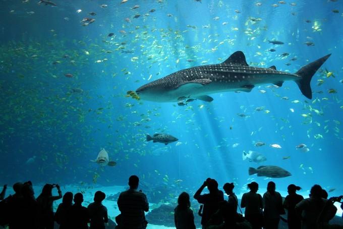 미국 애틀란타 조지아 아쿠아리움에 있는 고래상어의 모습이다. 고래상어는 평균 길이가 20m로 가장 큰 물고기다. 위키피디아 제공