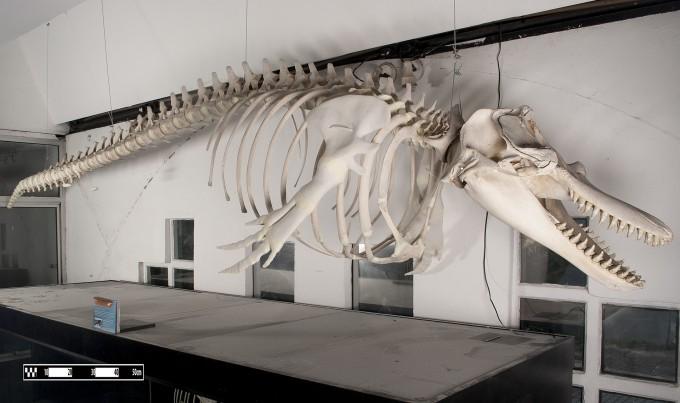 브라질 상파울로의 수의해부학 연구소에 전시된 범고래 뼈의 모습이다. 가슴에 달린 지느러미 부분의 뼈가 다섯 손가락뼈로 구성된 것을 볼 수 있다. 위키피디아 제공