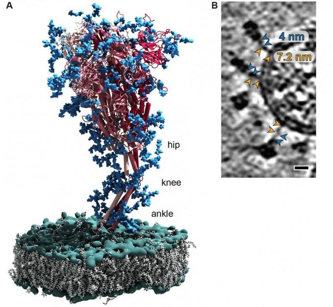 연구팀이 재구성한 스파이크 단백질의 구조를 왼쪽에 표현했다. 빨간색은 단백질이고 파란색은 그 표면에 붙은 당 분자다. 연구팀은 특히 기둥 부위에 ′골반′과 ′무릎′, ′발목′이라고 별명 붙인 관절이 세 곳 있어 움직일 수 있다고 밝혔다. 오른쪽은 연구팀이 촬영한 스파이크 단백질의 단면이다. 관절처럼 보이는 연결부위가 선명히 관찰된다. 사이언스 논문 캡쳐