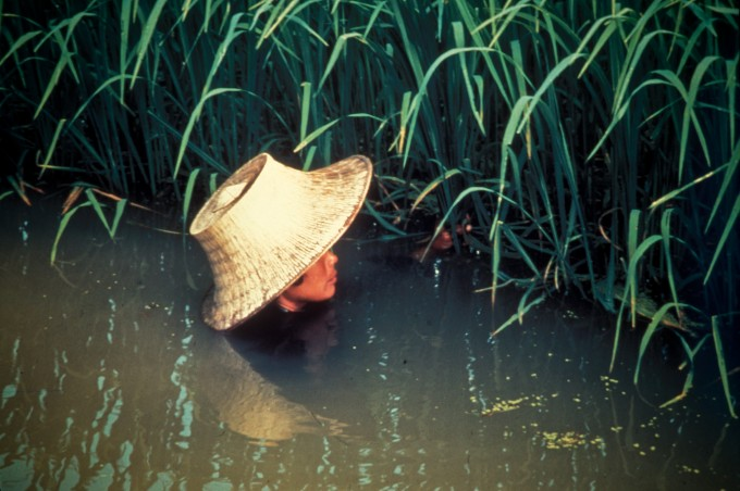 남아시아와 동남아시아, 서아프리카의 만성 침수 지역에서는 줄기가 길게 자라는 심수 벼를 재배한다. 벼를 돌보는 농부의 목까지 물이 차 있다. 위키피디아 제공