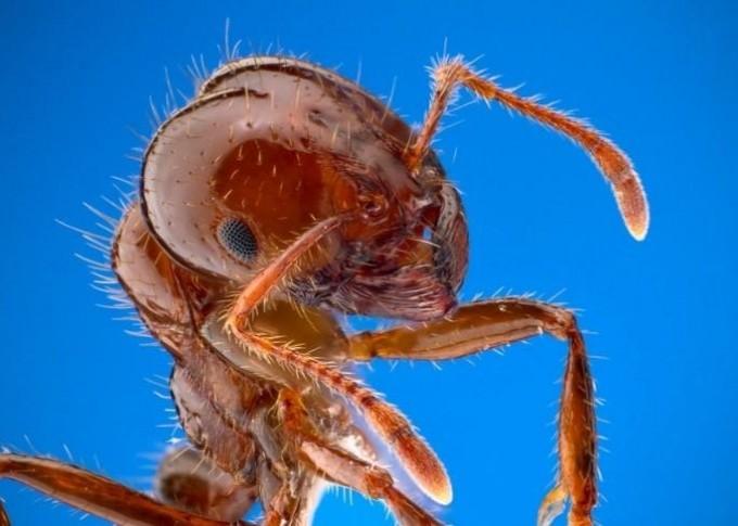 불개미는 냄새를 통해 병원체가 적은 둥지를 택한다. 플로스병원체 제공