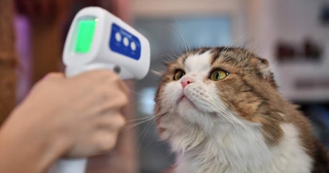 신종 코로나바이러스 감염증(코로나19) 봉쇄 완화로 영업을 재개한 태국 방콕의 한 고양이 카페에서 직원이 고양이의 체온을 측정하고 있다. 연합뉴스 제공