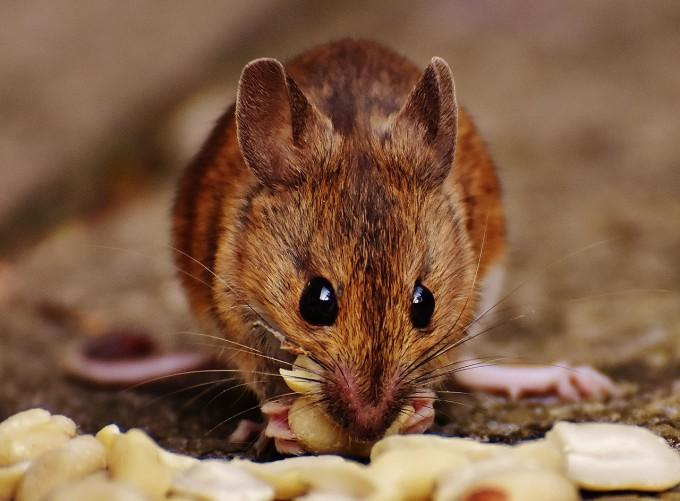 우주에서 33일 머물며 '머슬퀸'된 암컷 쥐