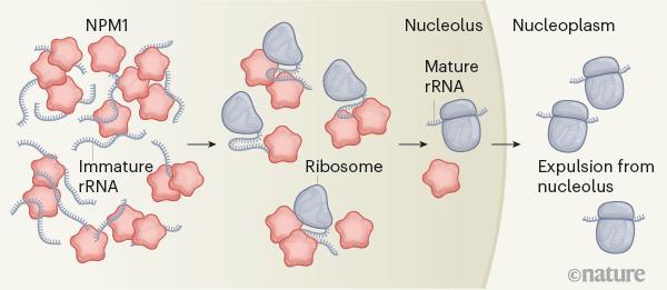 핵 내부에 있는 인은 리보솜을 만드는 곳으로 그 구조는 미스터리였지만 2011년 액체방울임이 밝혀졌다. 최근 연구결과 NPM1 단백질과 미성숙 리보솜RNA의 상호작용이 안정한 인의 구조를 이루고 있고 생산물인 리보솜은 여기에 끼지 못해 핵질로 방출된다는 사실이 밝혀졌다. '네이처' 제공
