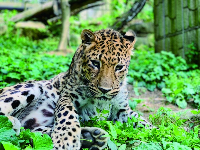 아기 표범 ′직지′의 모습.  청주동물원 제공