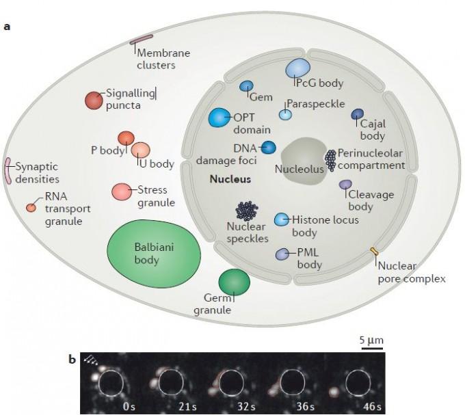 세포 안에는 막이 있는 세포소기관뿐 아니라 막이 없는 다양한 구조물이 존재한다. 최근 이들 대부분이 상분리로 형성된 액체방울이라는 사실이 드러났고 이를 통칭해 생분자응집물이라고 부른다. 여러 유형의 세포에 존재하는 액체방울을 한 세포에 담았다. 아래는 예쁜꼬마선충의 배아세포에 존재하는 P과립(흰색)이 시간(초)에 따라 변하는 모습을 보여주는 이미지로 액체방울임을 알 수 있다. 흰색 선은 세포핵 경계를 나타낸다.  '네이처 리뷰 분자세포생물학′ 제공