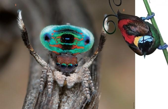 ① 마라투스 카리에(Maratus karrie) 수컷은 공작과 닮아 공작 거미라고 불린다. 몸의 일부분에 발현된 울트라블랙은 반사율이 약 0.35%다. 2 극락조는 교미에 유리하도록 몸에 알록달록한 색을 발현시켰다. 종별 또는 부위별로 0.05~0.31% 의 다양한 반사율을 가진 울트라블랙 깃털을 갖고 있다.