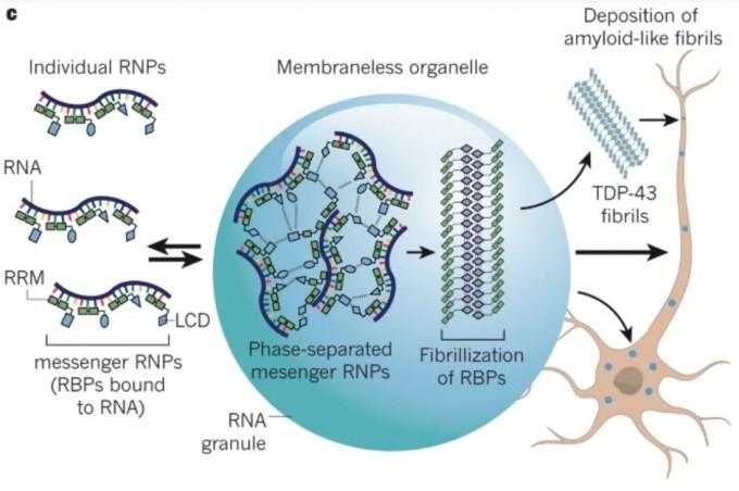 단백질 섬유가 쌓여 신경세포가 죽으면서 발생하는 신경퇴행성질환 역시 상분리와 밀접한 관계가 있다는 사실이 드러나고 있다. 루게릭병의 경우 상분리로 액체방울을 이루는 RNA와 TDP-43 단백질의 상호작용에 변화가 생기면서 촉발된다. 즉 TDP-43 단백질이 RNA를 배제하고 자기들끼리 모여 섬유를 형성해 세포질로 빠져나가 곳곳에 달라붙어 쌓이면 결국 세포가 죽게 된다. 네이처 제공