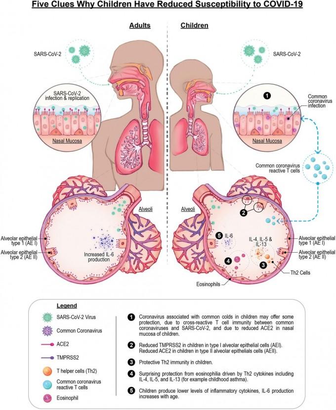 성인(왼쪽)과 어린이가 코로나19 바이러스에 감염되는 경로를 비교했다. 어린이는 성인에 비해 1) 호흡기 상피세포가 이미 다른 코로나바이러스에 감염돼 교차면역을 발휘할 수 있고 2) ACE2와 TMPRSS2 등 바이러스 감염에 관여하는 인체세포 표면 단백질의 발현이 적다. 3) 2형 도움T세포가 많아 선천면역 기능이 활성화되고 4) 호산구는 증가하고 5)사이토카인 분비는 줄어 중증 발생이 적은 것으로 나타났다. PNAS 논문 캡쳐