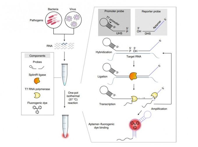 포스텍이 개발한 새 진단기술의 과정을 보여주는 그림이다. 시약 병 안에 표적 RNA와 결합할 수 있는 프로브 두 개와 연결효소(라이게이스), RNA 중합효소, 형광물질을 넣는다. 차례로 프로브가 표적에 붙고 라이게이스가 두 프로브를 연결시키며, 중합효소가 연결된 RNA를 바탕으로 새 RNA를 만든다. 새 RNA는 완성되면 스스로 꼬이면서 입체 구조를 갖는데, 이 구조는 형광물질과 결합해 빛을 낸다. 이 방법으로 연구팀은 30~50분 만에 적은 양의 표적 RNA를 검출하는 진단 기술을 개발했다. 네이처 의공학 논문 캡쳐