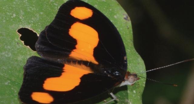 캐토네프헤레 안티노에(Catonephele antinoe) 최저반사율이 0.06%로 육지에서 가장 검은 울트라블랙 날개를 가지고 있다. 날개 표면에서 수직으로 나란한 나노튜브 배열 구조가 깊을수록 반사율이 더 낮다. Ken Kertell 제공