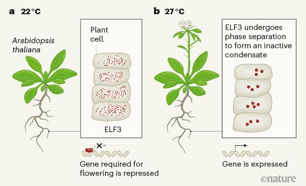 최근 성균관대 생명과학과 정재훈 교수팀과 영국 케임브리지대 공동연구자들은 애기장대가 22도보다 27도에서 훨씬 빨리 꽃을 피우는 현상을 ELF3 단백질의 상분리 현상으로 설명했다. 22도에서는 ELF3가 개별 분자로 존재해 개화 유전자를 억제하는 기능을 하지만(왼쪽) 27도에서는 상분리로 액체방울을 만들면서 개화유전자가 발현한다(오른쪽). 네이처 제공